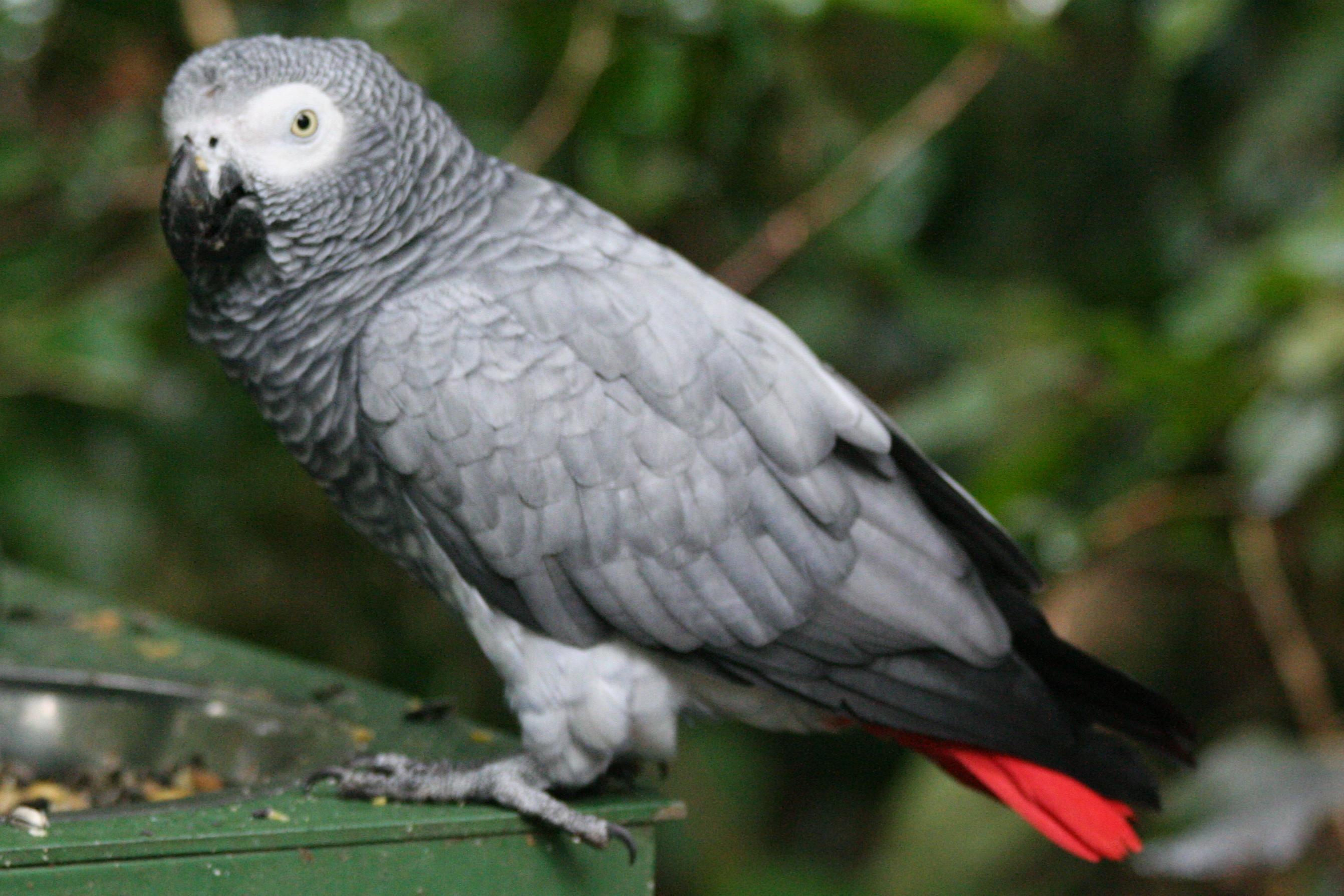 Psittacus_erithacus_erithacus_-Birds_of_Eden-8a